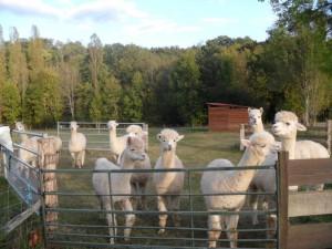 alpaca sitting 2